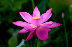Een lotusbloembloem royalty-vrije stock foto