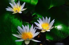Een lotusbloembloem Stock Foto