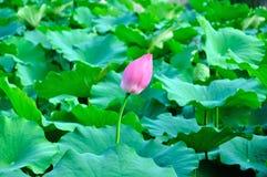 Een lotusbloemknop Stock Afbeelding