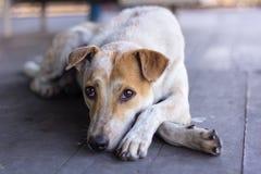 Een luie hond op houten stock afbeeldingen