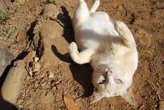 Een luie vette kat van Thailand en Zuidoost-Azië Stock Afbeelding