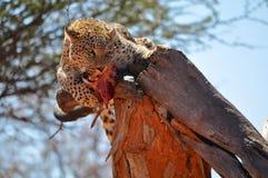 Een luipaard die ruw vlees in een boom eten royalty-vrije stock fotografie