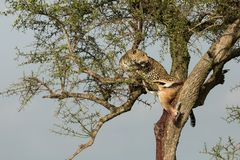Een luipaard en haar doden Royalty-vrije Stock Foto