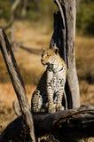 Een Luipaard onderzoekt zijn Koninkrijk Royalty-vrije Stock Foto's