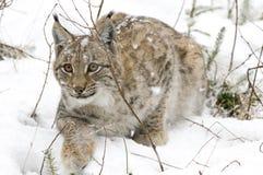 Een lynx in het Boheemse Bos Stock Afbeeldingen