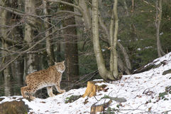 Een lynx in het Boheemse Bos Stock Foto