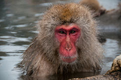Een macaque in een hete Prefectuur van de lentenagano, Japan Stock Fotografie