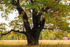 Een machtige oude oude eik, die zich alleen op de rand van een overblijfsel eiken bosje bevinden De gouden herfst, weelderig geel stock fotografie