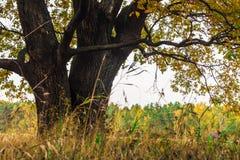 Een machtige oude oude eik, die zich alleen op de rand van een overblijfsel eiken bosje bevinden De gouden herfst, weelderig geel royalty-vrije stock foto