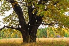Een machtige oude oude eik, die zich alleen op de rand van een overblijfsel eiken bosje bevinden De gouden herfst, weelderig geel stock foto's