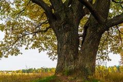 Een machtige oude oude eik, die zich alleen op de rand van een overblijfsel eiken bosje bevinden De gouden herfst, weelderig geel royalty-vrije stock afbeelding