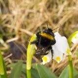 Een macro van Bumble bijenslaap wordt geschoten op een bloem die Het wekken van insect royalty-vrije stock afbeelding