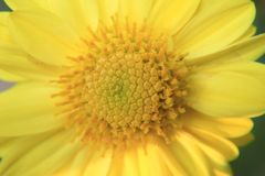 Een Macro van centrum en stamens van een trillende gele bloem voor achtergrond stock afbeeldingen