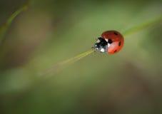 Een macro van een lieveheersbeestje Stock Afbeelding