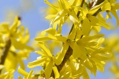 Een macro van forsythia bloeit royalty-vrije stock afbeeldingen