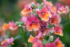 Een macro van kleurrijke nemesia wordt geschoten die bloeit royalty-vrije stock afbeeldingen