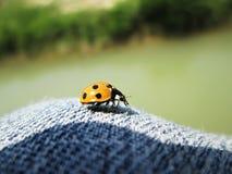 Een macro van onzelieveheersbeestjezitting op jeans stock foto