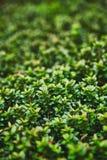 Een macrofoto van een installatie met kleine glanzende bladeren is gelijkaardig aan een legendarische fantasie bos Kleurrijke sap stock foto's