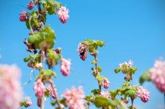 Een macroschot van de knoppen en de bloei van een bloeiende bes ringen en een Bumble Bij die op de blauwe hemel wordt geïsoleerd royalty-vrije stock afbeeldingen