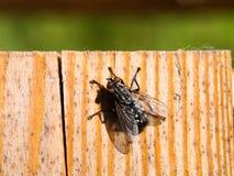 Een macroschot van vlieg op houten achtergrond Stock Foto
