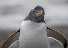 Een Magellanic-Pinguïn in Zuidelijk Chili royalty-vrije stock afbeelding
