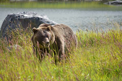 Een magestic Grizzly stock afbeelding