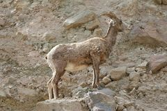Een majestueus groot hoornschaap die zich op rotsen bevinden Stock Afbeeldingen