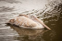 Een majestueuze Dalmatische pelikaan Royalty-vrije Stock Afbeeldingen