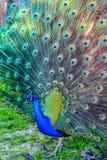 Een majestueuze pauw die het is staartveren in het park voorstellen Royalty-vrije Stock Foto