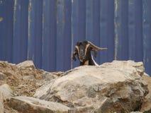 Een Majorera-geit inheems aan Fuerteventura in Spanje Royalty-vrije Stock Afbeeldingen
