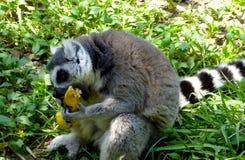 Een Maki die een banaan eten stock foto's
