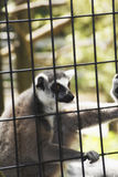 Een maki in een kooi in een dierentuin Stock Foto's