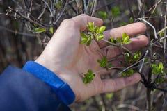 Een man hand houdt de eerste verse de lentebladeren royalty-vrije stock foto