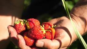 Een man hand neemt een rode aardbei van een struik en zet het in zijn palm een landbouwer oogst een rijpe bes de hand van de tuin stock videobeelden