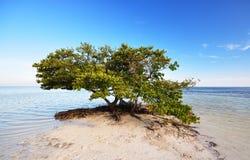 Een mangroveboom Stock Afbeelding