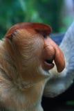 Een mannelijke Aap van Zuigorganen (Bekantan) Stock Foto