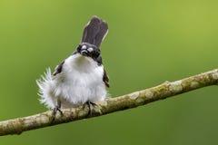 Een mannelijke bonte vliegenvanger krijgt verstoorde veren in een hoge wind Stock Foto's