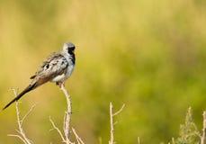 Een mannelijke duif Namaqua Stock Afbeeldingen