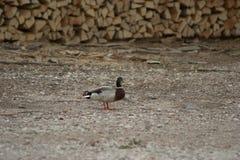 Een mannelijke eend Gemeenschappelijke eend, Anaplatyrhynchos die wacht bevinden zich terwijl zijn getoonde partner niet naar voe royalty-vrije stock foto