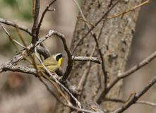 Een mannelijke gemeenschappelijke gele keelgrasmus streek op een tak in de lente neer royalty-vrije stock fotografie