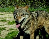 Een mannelijke grijze wolf Royalty-vrije Stock Fotografie