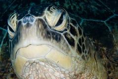 Een mannelijke Groene schildpad (mydas Chelonia) Stock Fotografie