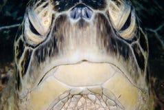 Een mannelijke Groene schildpad (mydas Chelonia) Royalty-vrije Stock Afbeeldingen