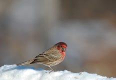 Een mannelijke Huisvink die zich in de sneeuw bevinden Royalty-vrije Stock Fotografie