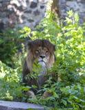 Een mannelijke leeuw stock afbeelding