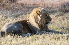Een Mannelijke Leeuw in de Moremi-Spelreserve Stock Afbeeldingen