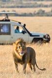 Een mannelijke leeuw die zijn tong plakken stock afbeeldingen
