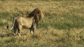 Een mannelijke leeuw loopt vanaf de camera en dan tegenhoudt en let op iets in masai mara stock video