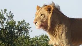 Een mannelijke leeuw met de zon die op het glanzen stock foto