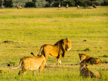 Een mannelijke leeuw met drie wijfjes Royalty-vrije Stock Afbeeldingen